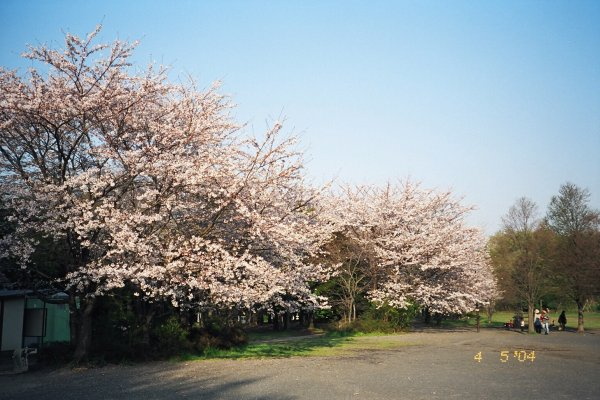 Random walk - Cherry Blossoms