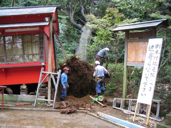 enoshima-treefall1