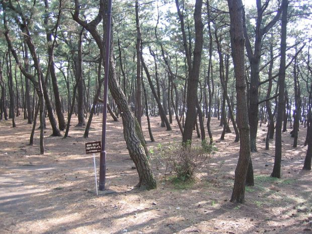 Some of the 1000 trees near Senbon beach in Numazu